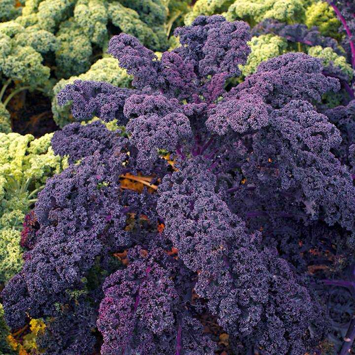 Collard greens: description of varieties and cultivation