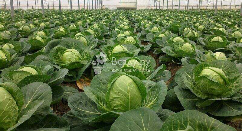 Compliance with the timing of planting cabbage in the spring will relieve it of diseases