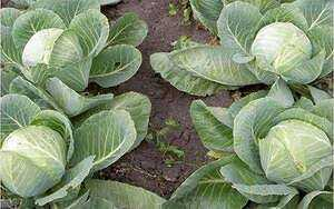 Features of late varieties of cabbage