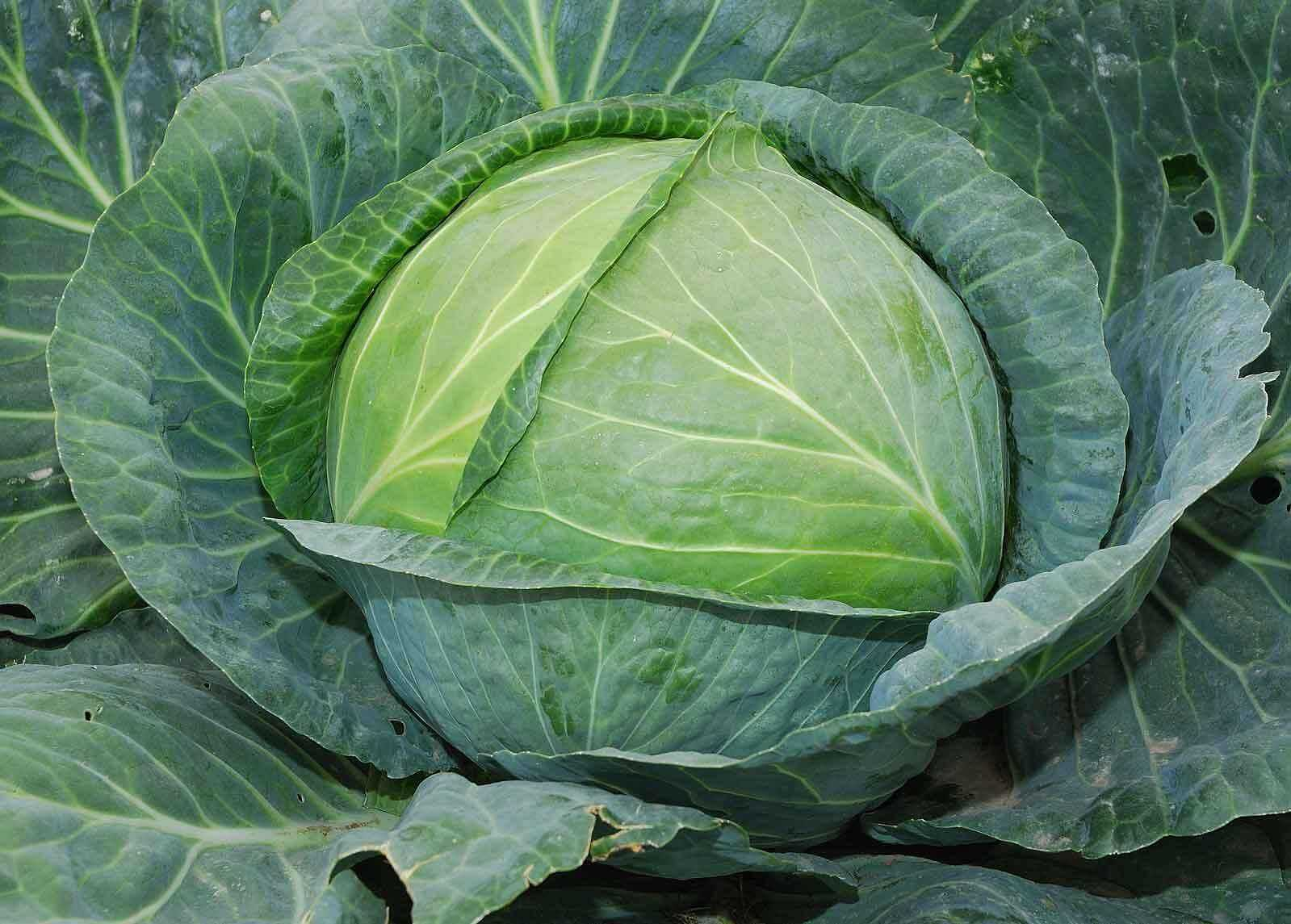 Garden cabbage: rules for growing in the garden
