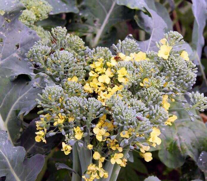 Growing broccoli in a seedless way: an effective and simple method