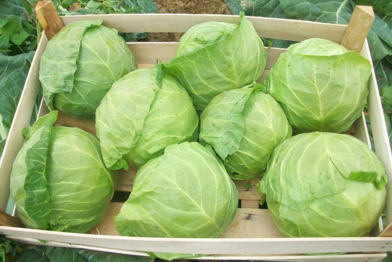 Heads of cabbage in boxes are laid with stalk down