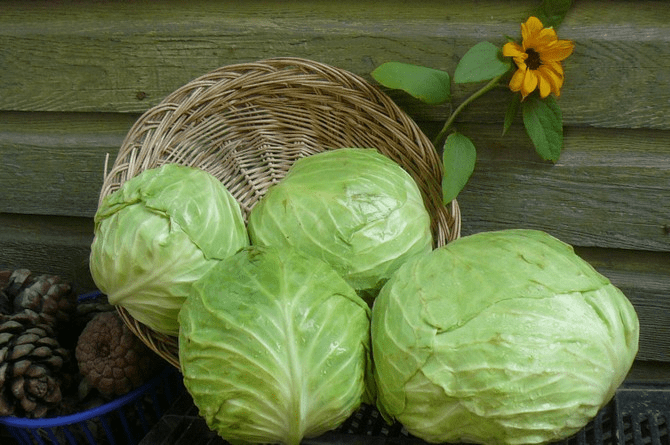 How to keep fresh crispy cabbage until spring