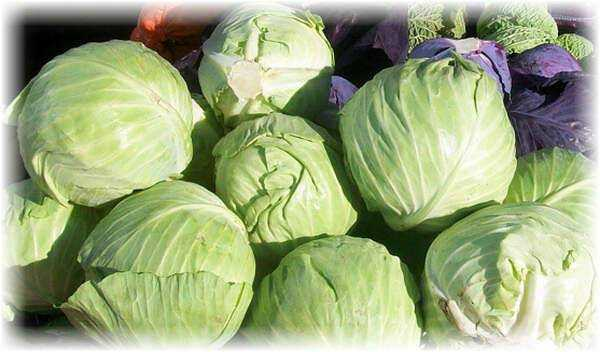 Mid-season white cabbage Slava - the best variety for pickling and pickling