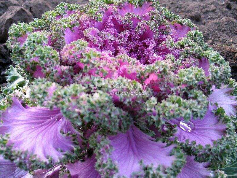 Ornamental cabbage: which varieties to choose and where to plant
