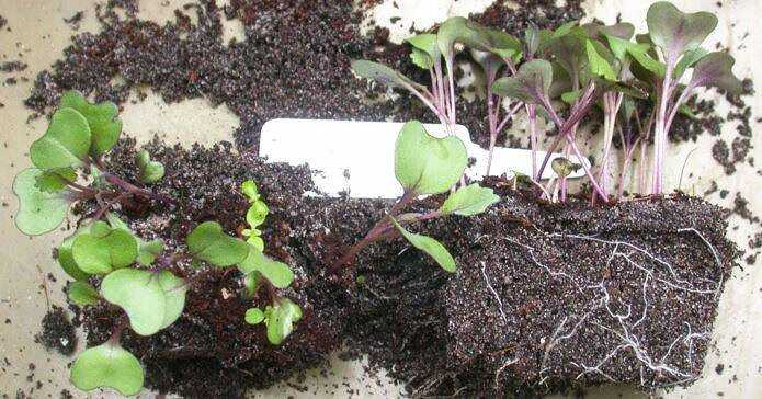 Pickling cabbage seedlings at home: timing and instructions