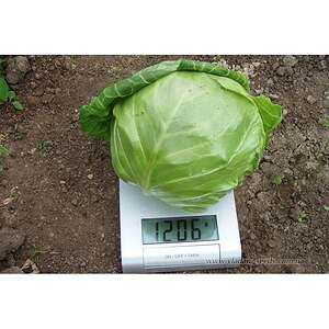 Preparation and cultivation of seeds for seedlings of early cabbage