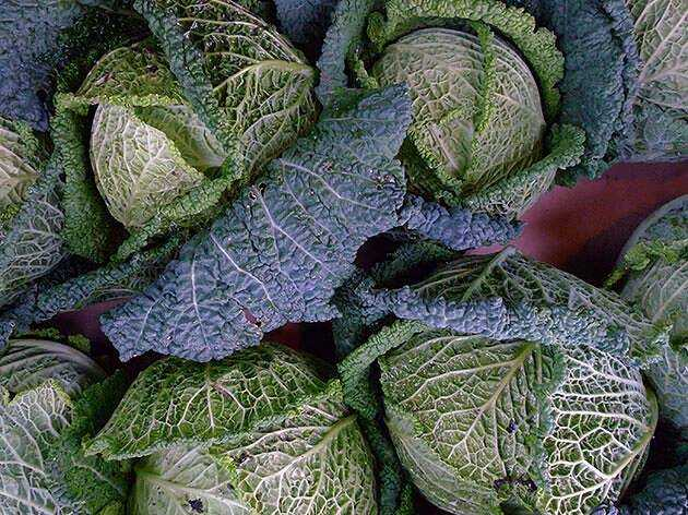 Savoy cabbage: from growing seedlings to harvesting