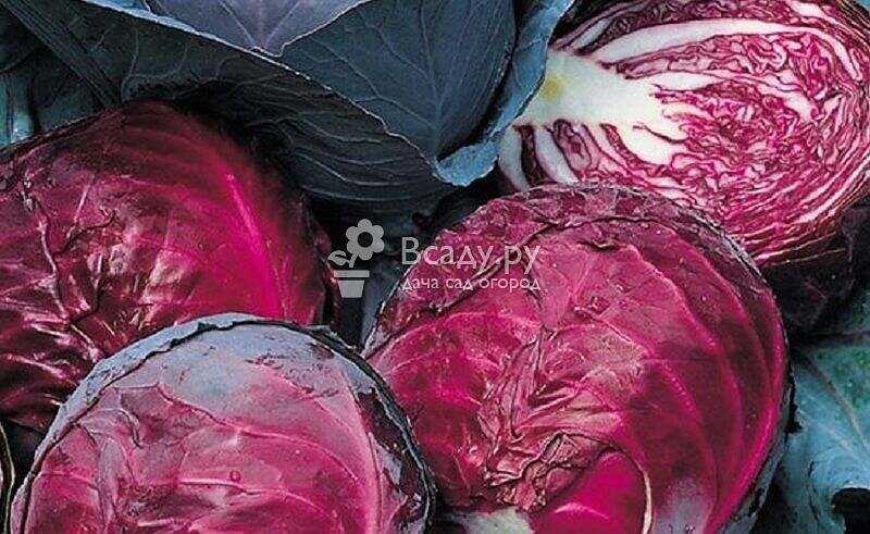 Sowing dates of seeds of mid-season and late varieties of cabbage in Russia