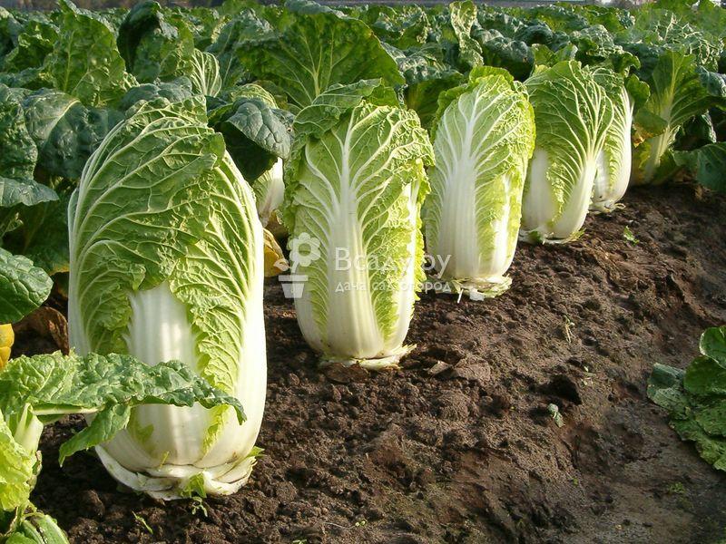 Peking cabbage, glass grade