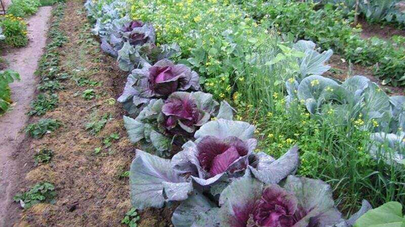 Unknown facts about red cabbage – its vitamins and benefits