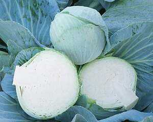 White cabbage varieties: photos and names