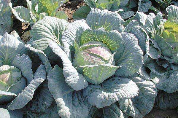 Why cabbage has purple leaves and what to do and what is missing